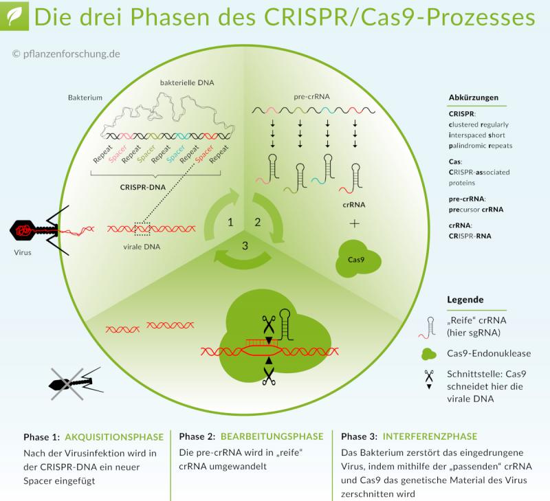 Überblick der drei Phasen des CRISPR/Cas9-Prozesses (nach Doudna & Charpentier 2014, Science 346(6213))
