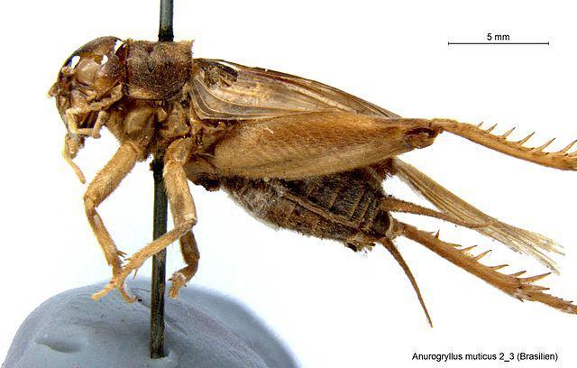 Anurogryllus muticus, ein Verwandter des Übeltäters aus Havanna, erlegt und aufgespießt für die Zoologische Staatssammlung München