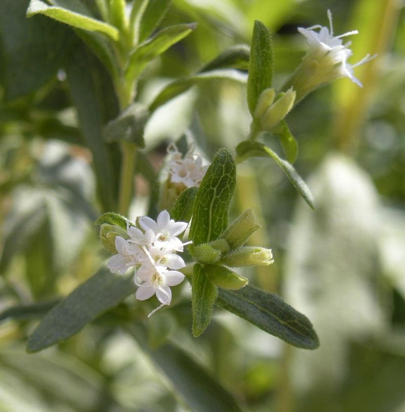 Blühende Stevia rebaudiana