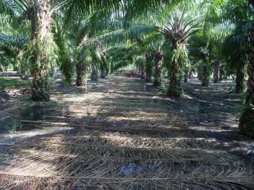 Ölpalmen werden fast immer in schädlichen Monokuturen angepflanzt