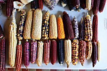 Kein Genmais, sondern Mexikos natürliche Maisvielfalt