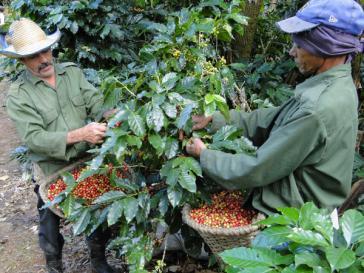 Im Landwirtschaftsbetrieb Eladio Machín in Cienfuegos wird auch Kaffee angebaut und verarbeitet