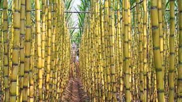 Zuckerrohranbau in Brasilien