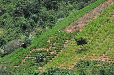 Koka-Pflanzen an einem Hand in der Nähe von Caranavi im Westen von Bolivien