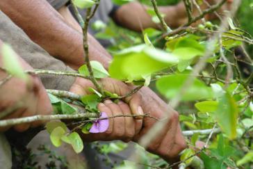 Seit Jahresbeginn habe es entgegen dem Friedensabkommen 500 Versuche gegeben, Koka-Pflanzungen gewaltsam zu zerstören, berichtet ein Bauernsprecher