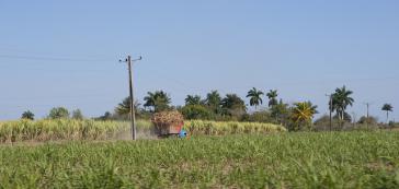 Zuckerernte in Kuba
