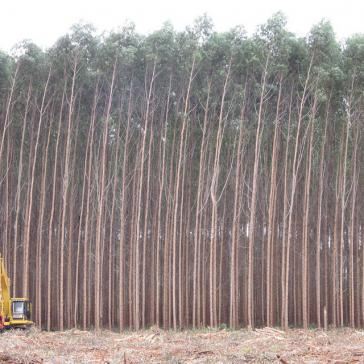 Eukalyptus-Monokultur in Brasilien.