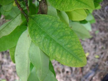 Kokapflanze bei La Cumbre, Kolumbien