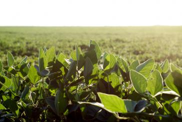 Sojafeld in Argentinien. Das Land ist der weltweit drittgrößte Sojaproduzent und-exporteur