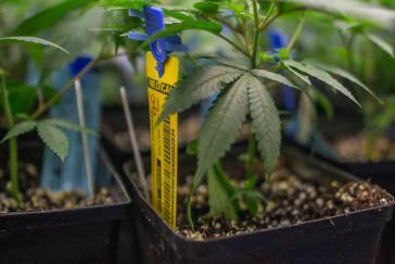 Argentinien erlaubt nun den medizinischen Gebrauch von Cannabis