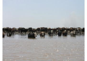 Rinderzucht in Argentinien: Für das Land oder den Export?