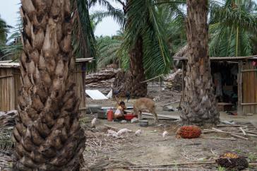 Neben dem Bergbau gefährden auch große Palmöl-Plantagen die Lebensbedingungen der Bevölkerung