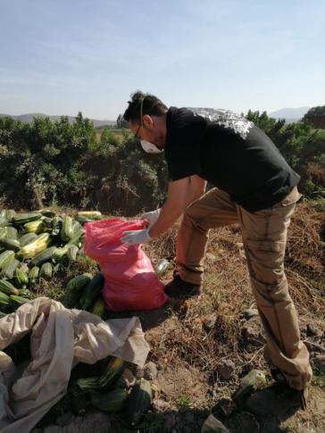 Freiwillige kümmern sich, wie hier in Chile, um die Ernte frischer Produkte, bevor sie verteilt werden können