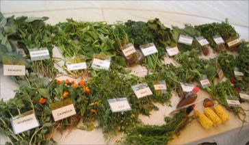 Einige der Heilpflanzen der Muisca in Kolumbien