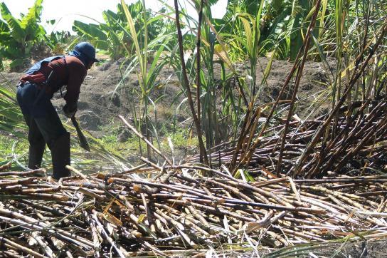 Arbeiter schneidet mit Machete Zuckerrohr
