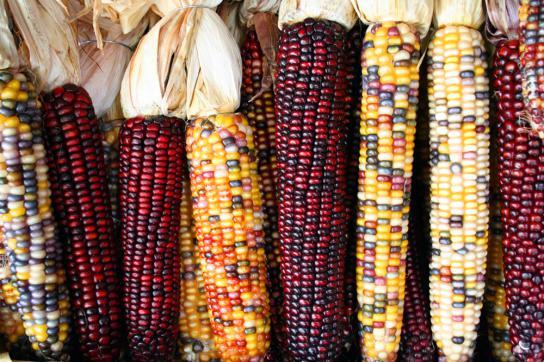 Die Vielfalt mexikanischer Maissorten ist durch den Anbau von Genmais bedroht
