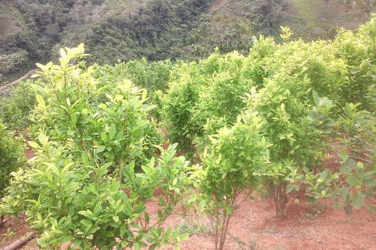 Koka-Anpflanzungen in Südamerika