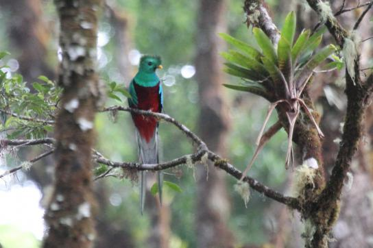 Quetzal in Savegre, Costa Rica. Dieses Reservat ist eines der fünf in Lateinamer